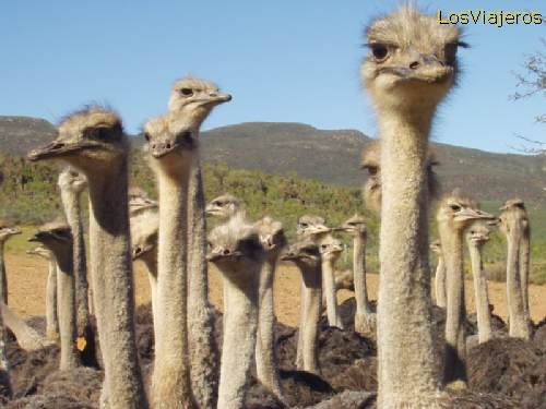 Oudtshorn, the town for ostriches - South Africa Oudsthorn, la ciudad de las avestruces - Sudafrica - Sudáfrica