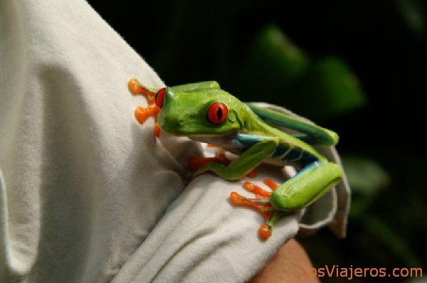 Rana de ojos rojos -Agalychnis callidryas- Faldas del Volcan Arenal - Costa Rica Red eyes frog -Agalychnis callidryas- Arenal Volcano - Costa Rica