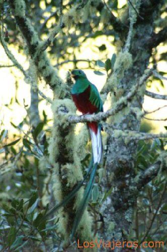Pajaros Quetzal - Costa Rica Quetzal Bird - Costa Rica