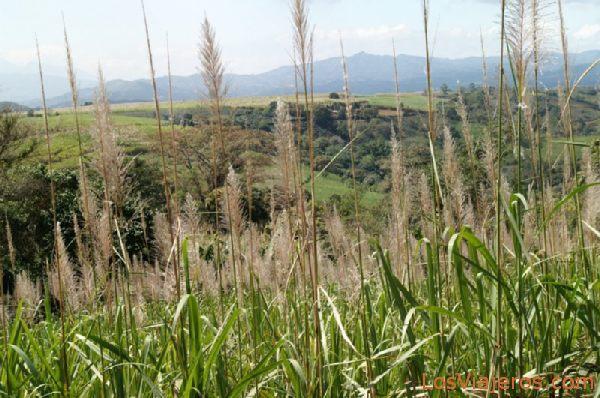 Sugar Cane in Central Valley - Costa Rica Caña de azucar en el Valle Central - Costa Rica