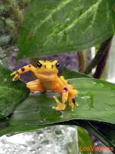 Golden frog - El Valle de Antón - Panama Rana Dorada- El Valle de Antón - Panama