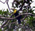 Go to big photo: Tucan -Soberania National Park