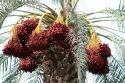 Palm tree full of dates ready for harvest