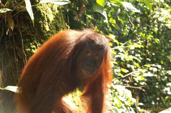 Orangutan - Sempilok Rehabilitation Centre - Malaysia Orangután el centro de rehabilitación de Sepilok - Sabah - Malasia