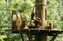Orangutans Family -Sempilok -Borneo- Malaysia