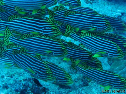 Cardumen de Labios dulces. Maldivas. - Global School of Sweetlips. Maldives. - Global
