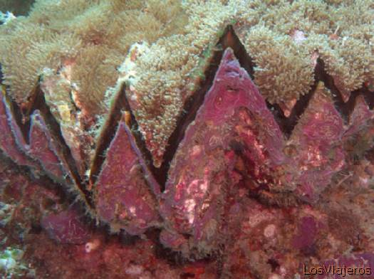 Nacra Gigante. Maldivas. - Global Giant Clam. Maldives. - Global