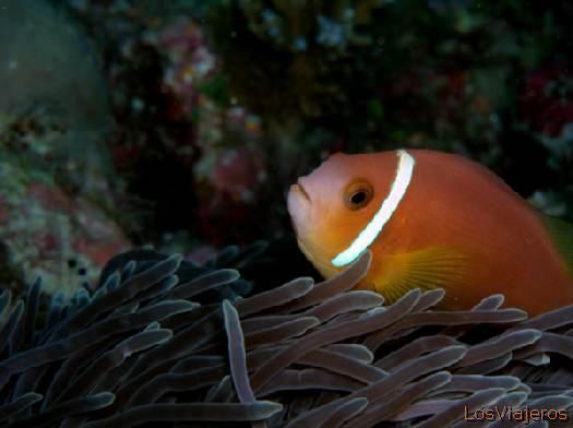 Anemonefish. Maldives. - Global Pez de las anémonas. Maldivas. - Global
