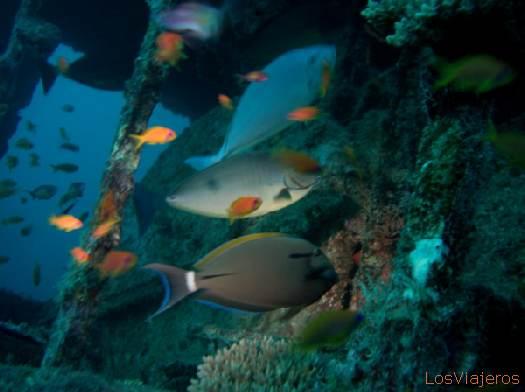 Surgeonfish. Maldives. - Global Pez cirujano. Maldivas. - Global