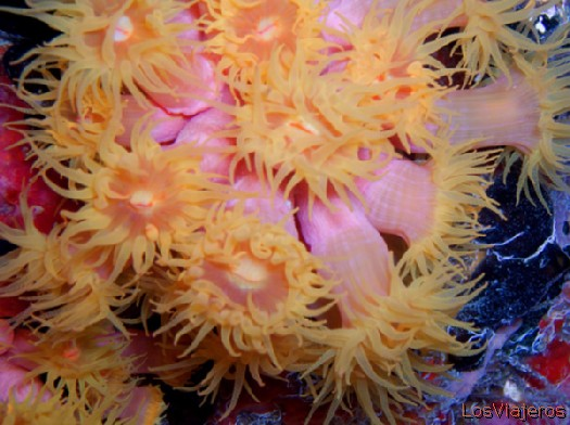Coral blando. Maldivas. - Global Soft Coral. Maldives. - Global