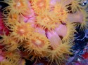 This colorfull coral grows in caves and shipwrecks  Tubastr