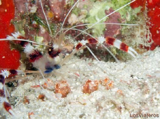 Cleaner Shrimp. Maldives. - Global Gamba limpiadora. Maldivas. - Global