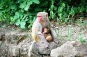 Ir a Foto: Hembra de babuino con cría-Monywa-Myanmar  Go to Photo: Female Baboon with a baby-Monywa-Burma