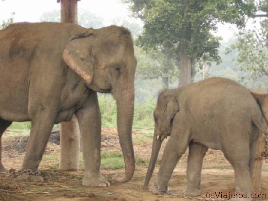 Elefantes - Nepal Elephants - Nepal