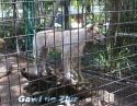 Ir a Foto: Dingo -Canis lupus dingo -Queensland- Australia  Go to Photo: Dingo -Canis lupus dingo -Queensland- Australia