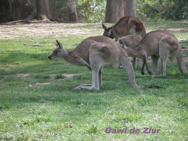 Kangaroo -Queensland- Australia Canguros -Queensland- Australia