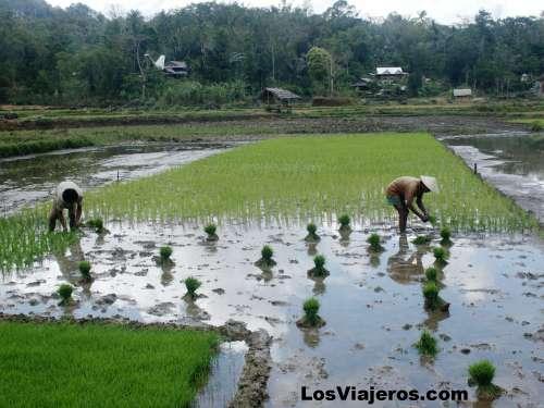 Rice fields in Toraja's Area - Indonesia Campos de arroz de la zona Toraja - Indonesia