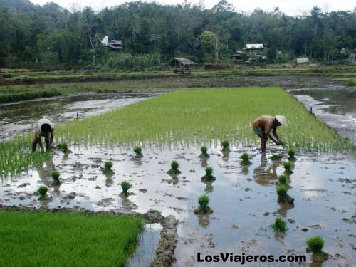 Campos de arroz de la zona Toraja - Indonesia